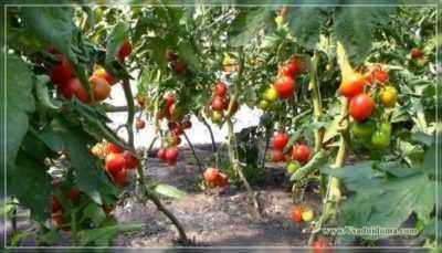 The benefits of nitroammophoski for tomatoes