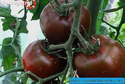 The benefits of superphosphate extracts for tomato