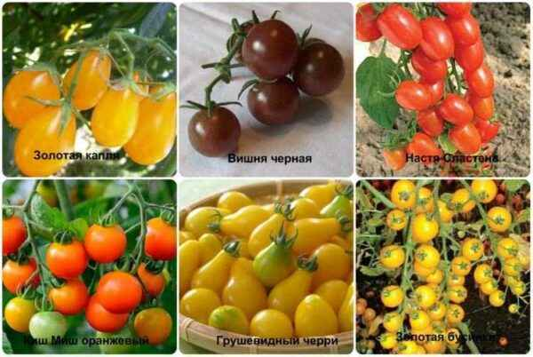 The best tomatoes for Moscow region