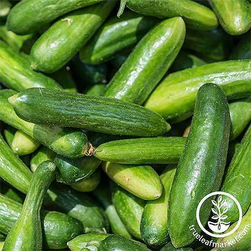 The best varieties of cucumbers in the letter P