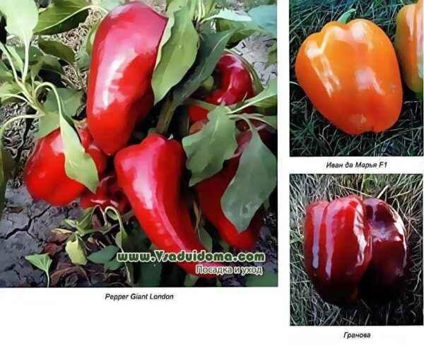 The best varieties of pepper 2019
