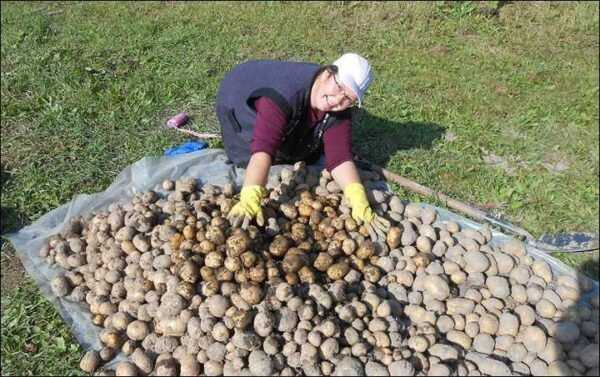 The best varieties of potatoes for Siberia