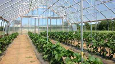 The formation of pepper in a polycarbonate greenhouse