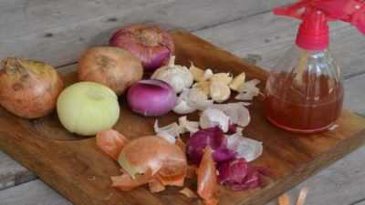 The healing and harmful properties of Indian onion