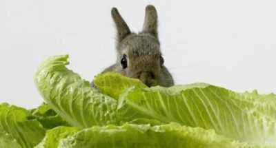 The healing properties of rabbit cabbage