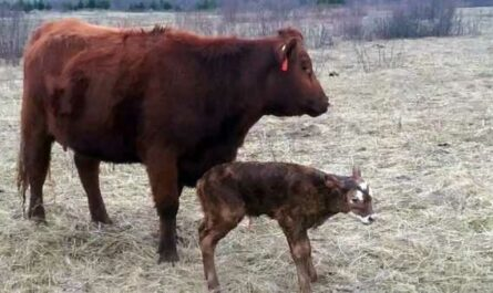 The importance of vitamins in the life of calves