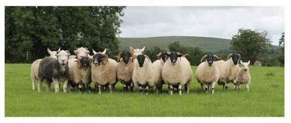 The main aspects of sheep farming