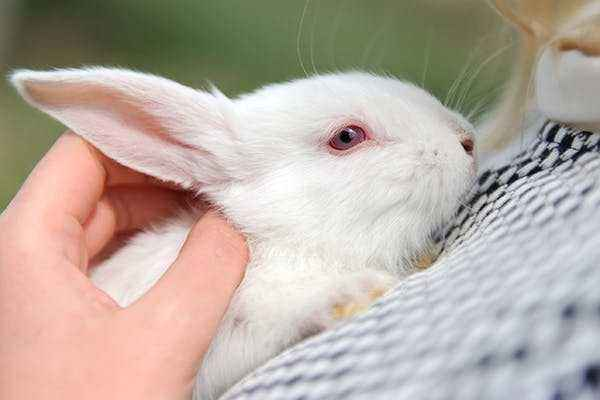 The main eye diseases in rabbits and their treatment