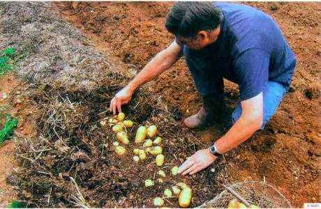 The main methods of planting potatoes under straw