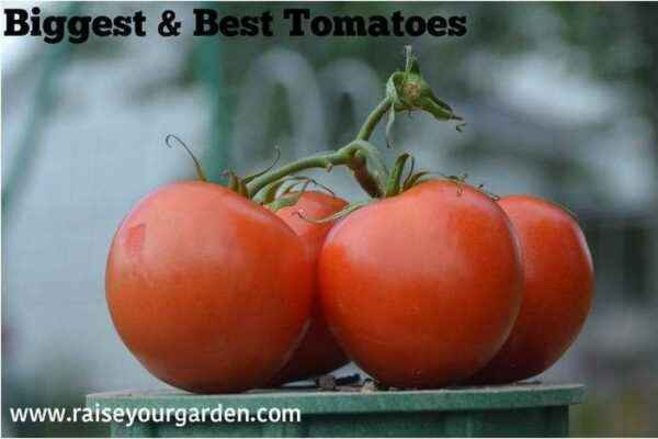 The perfect neighborhood for tomatoes