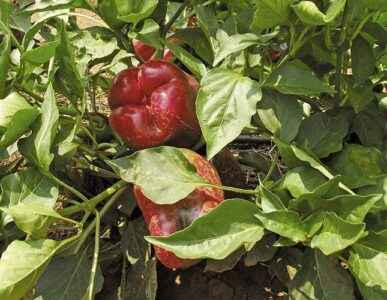 The principle of picking pepper seedlings at home