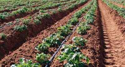The principle of planting potatoes according to the Mitlider method