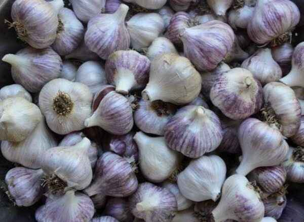 The process of processing garlic in the spring
