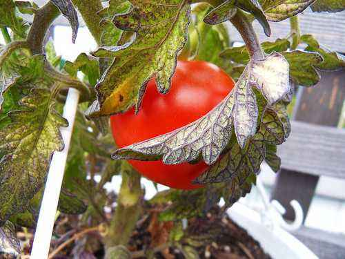 The reasons for the appearance of purple leaves on tomatoes