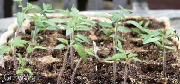 The reasons for the fall of tomato seedlings