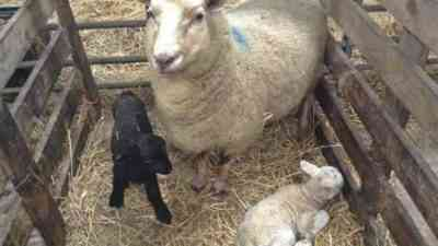 The reasons for the lack of goat milk after lambing