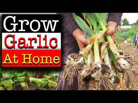 The rules for growing garlic