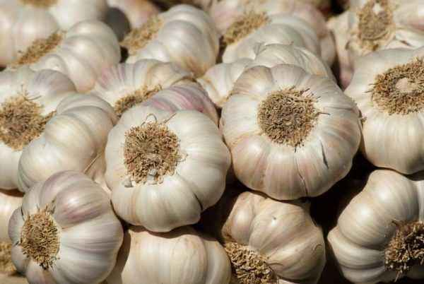 The rules for harvesting garlic in 2019