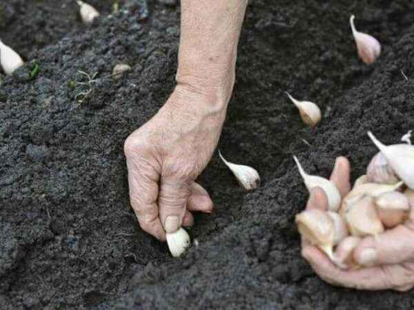 The rules for planting garlic in 2020