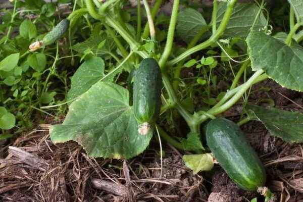 The rules for the formation of cucumbers