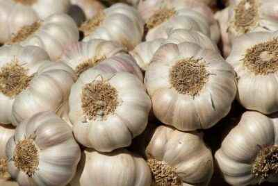 The rules for watering garlic in the spring