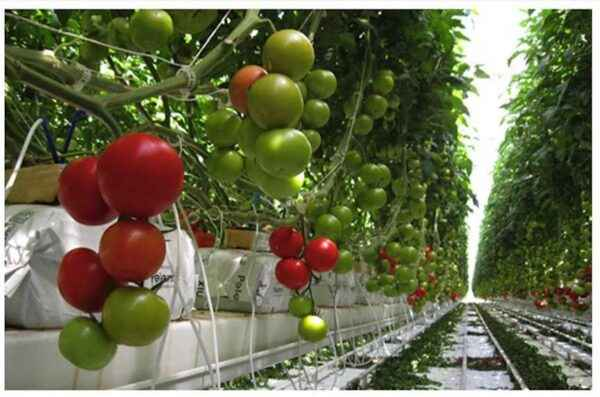 The rules of drip irrigation tomato