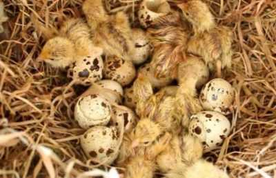 The subtleties of quail care at home