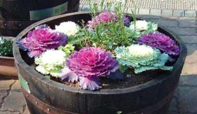 The technology of growing decorative cabbage