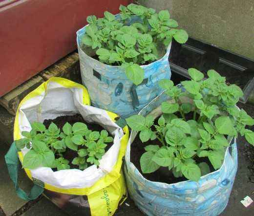 The technology of growing potatoes in bags