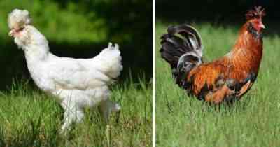 The uniqueness of the Russian crested breed of chickens