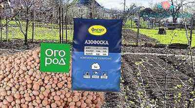The use of azofoski in growing potatoes
