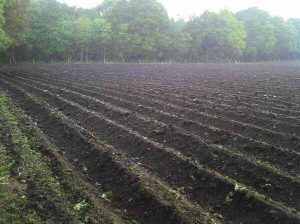 The use of herbicides for potatoes against weeds