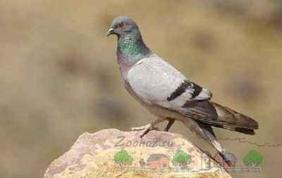 The use of Lozeval for pigeons