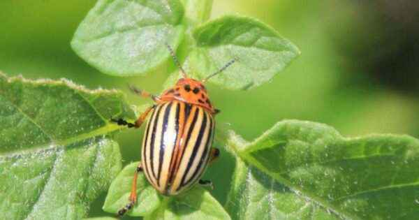 The use of regent from the Colorado potato beetle