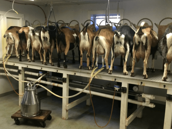 Tips for making a goat milking machine