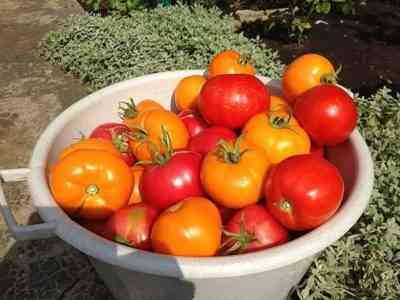 Topping tomatoes with superphosphate