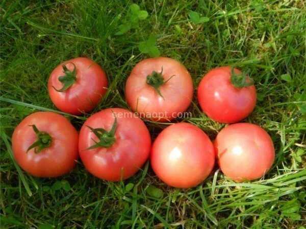 Torbay Tomato Description