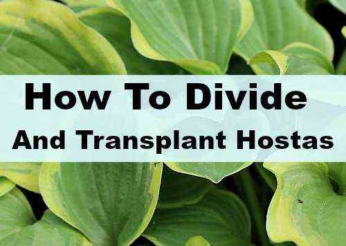 Transplant hosts in August