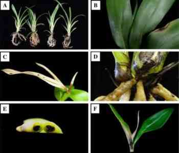 Treatment of Fusarium in Orchids