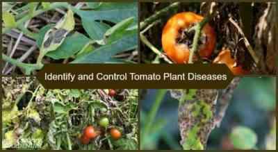 Treatment of tomato seedlings for diseases