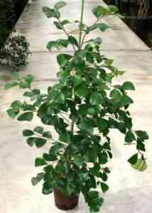 Triangular Ficus Characteristic