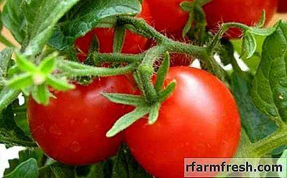 Trichopol for processing tomatoes