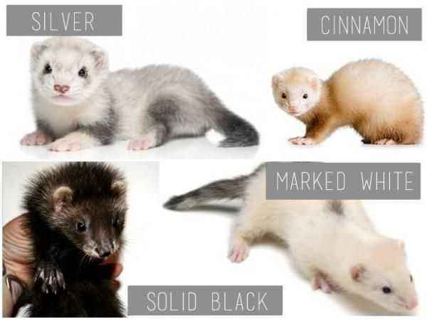 Types and description of the ferret