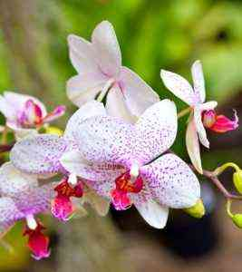 Types of Precious Orchids