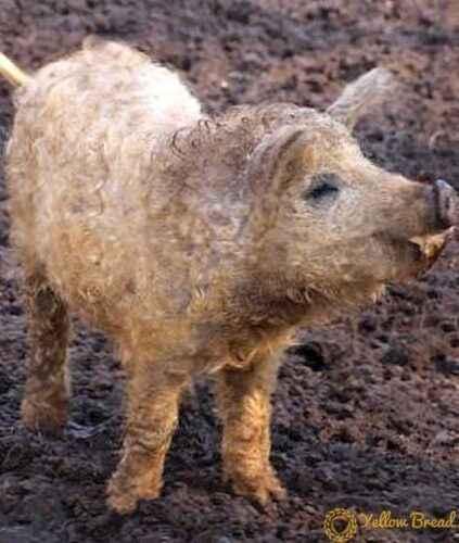 Необычная и экзотическая порода свиней венгерской мангалицы