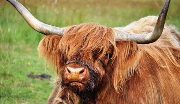 Unusual qualities of a Scottish cow