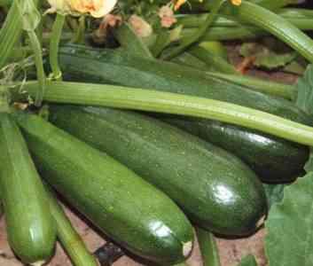 Varietal features of vegetable marrow Gribovsky 37
