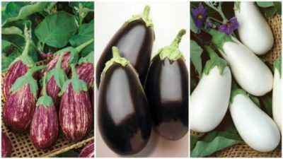 Varieties and features of growing eggplant