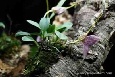 Varieties of Dwarf Orchids