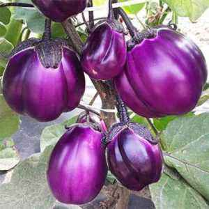 Varieties of eggplant for the Urals